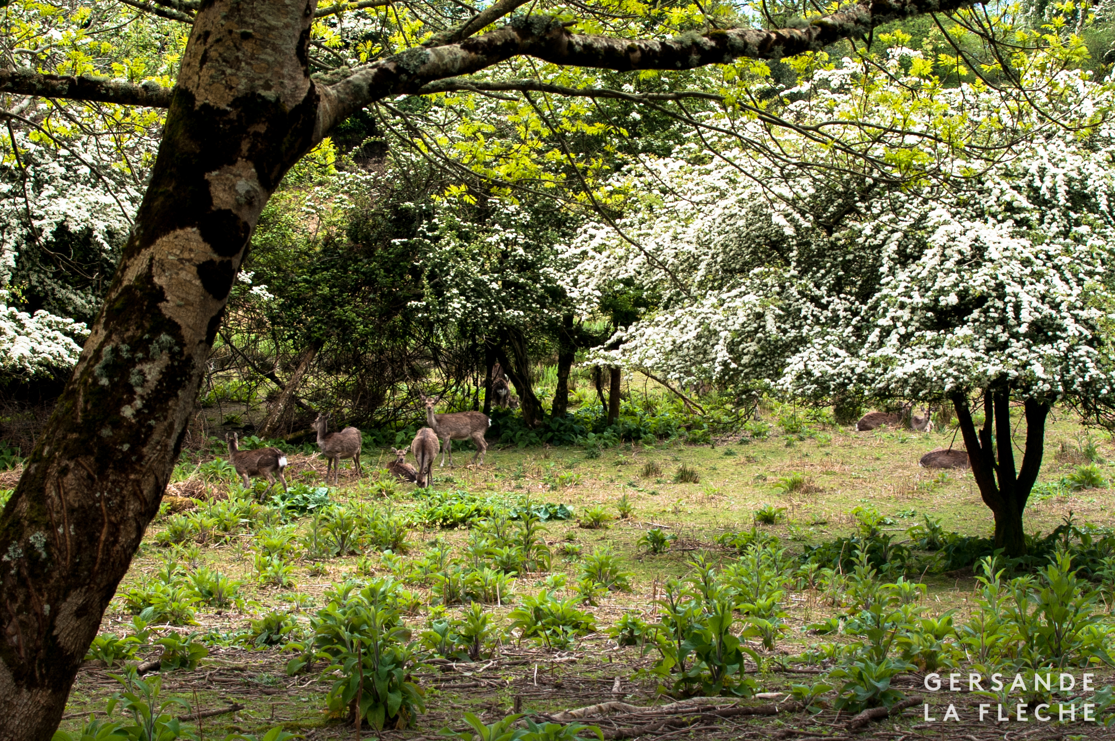 Photograph by the author of a herd of deer on Innisfallen Isle in Lough Leane.