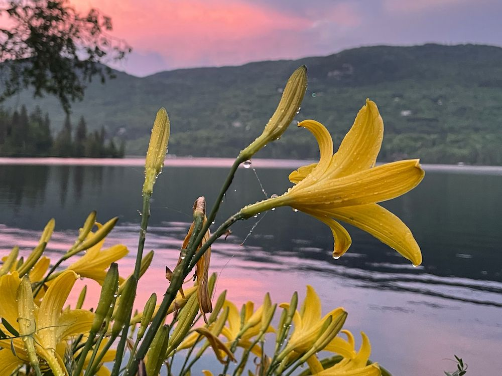 A photo of some yellow lilies against a pink-purple sky.